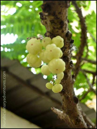 star gooseberry on a tree