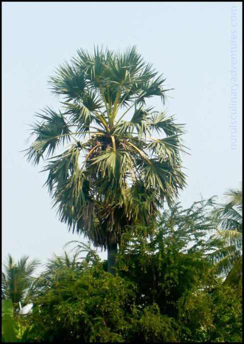 palm tree cambodia